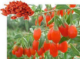 Risultati immagini per pianta sempre verde con bacche rosse