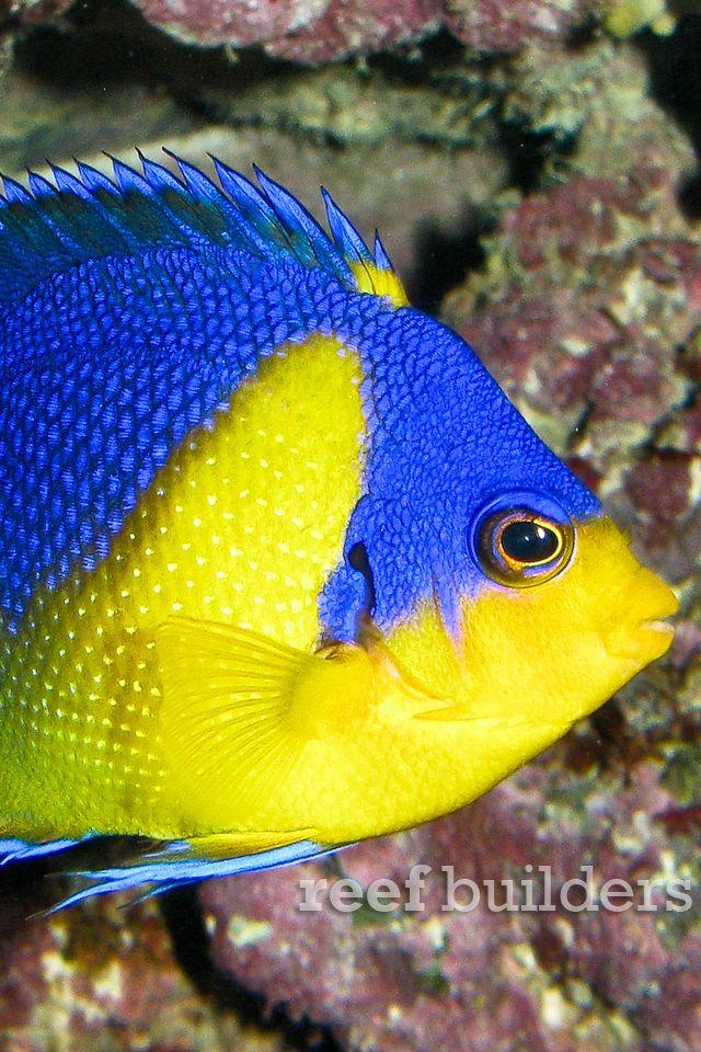 192 best images about aquarium fish on pinterest for Petco koi fish