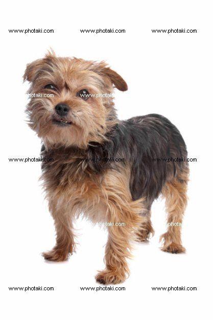 http://www.photaki.com/picture-yorkshire-terrier_1304916.htm