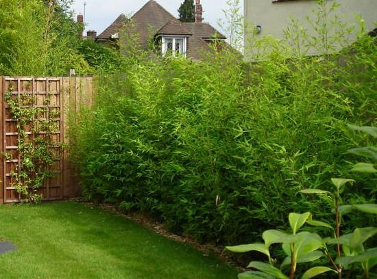 Afraid to Plant Bamboo? These varieties Aren't invasive