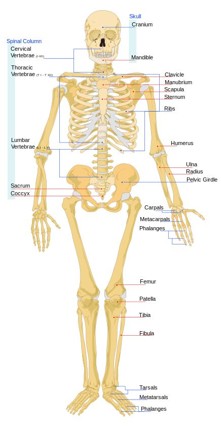34 Best Human Anatomy Images On Pinterest Human Anatomy Human
