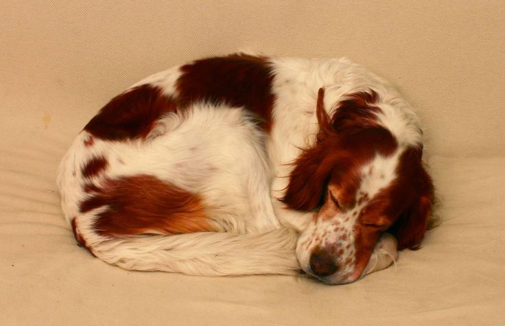 """Before there was the all-red Irish Setter we know and love, there was the Red and White Setter—a fixture of Ireland's hills and bogs since at least the 1600s. In those days setters would sneak up on game birds by crawling on their bellies, then freeze in a """"setting"""" position and indicate with their tail until a hunter threw a net over the birds. Nets eventually gave way to firearms, and the best setter lines adapted their crouching style of hunting to the new technology."""