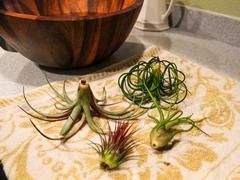 Get air plant care info and tips from Air Plant Design Studio. Learn about watering air plants and more! Every order comes with an Air Plant Care Card!