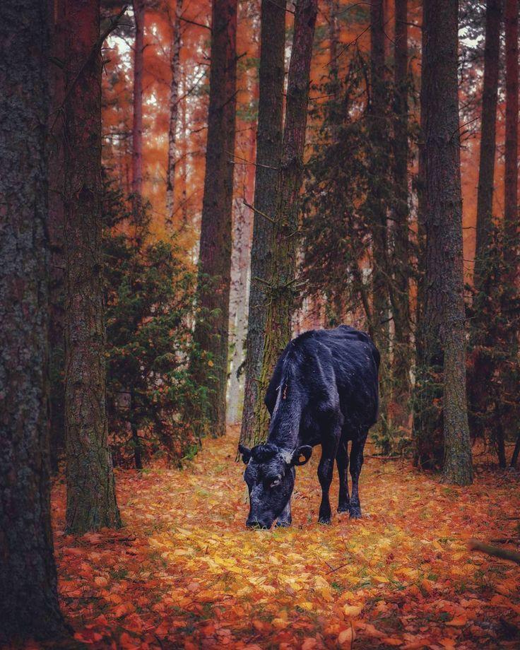 Mötte en kossa i skogen.  #tåkern #cow #animals #forest #fujixt20 #lightroom