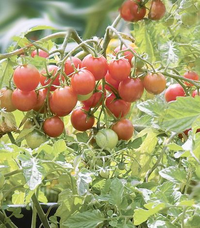 Growing Tomatoes In Small Spaces