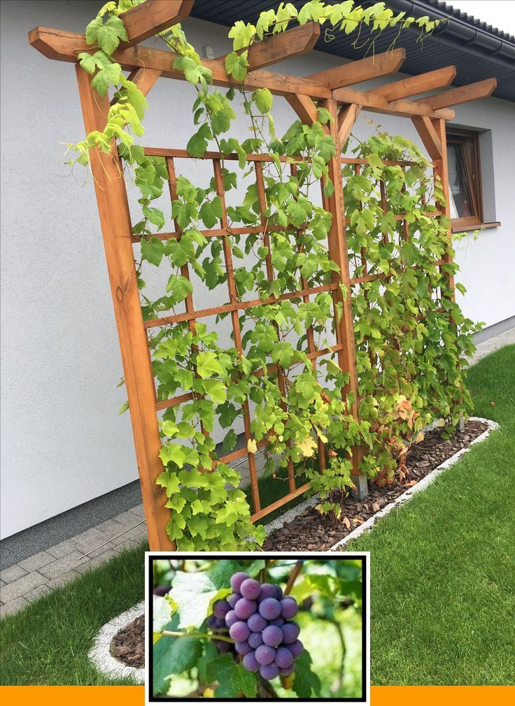 Growing grapes houston and grow grapes at home in 2020