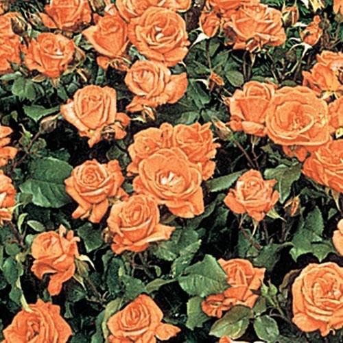 tolles die magie der bulgarischen rose besonders images und bbeaabffbffb ground cover roses flowering plants