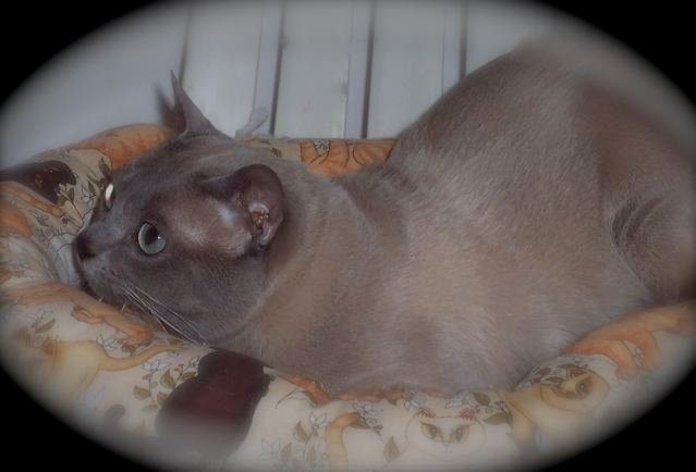 GC FrankLee Fieval O'Connor of Wenlock - My Mischa's sire.  Fieval is a Cat Fanciers Association Grand Champion (CFA GC) Tonkinese.