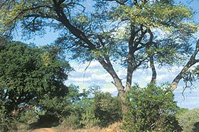 The third most common tree in Kruger Park after the mopane and red bushwillow is the knob thorn (Vachellia (Acacia) nigrescens). It is a medium to large tree with a spreading crown, growing up to 16 metres tall. It is most easily recognizable in spring when its bright yellow flowers liven up the landscape. - Trees in Kruger Park | Kruger National Park | South Africa...
