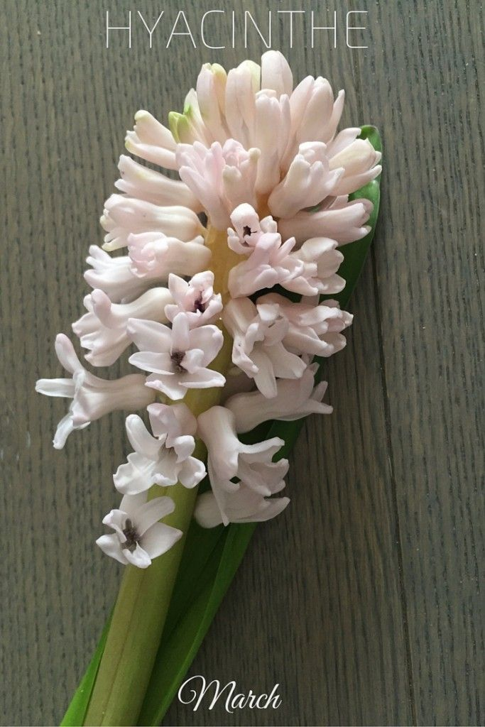 Hyacinthe - this flower only blooms in March and gives a delicate perfume to a bouquet