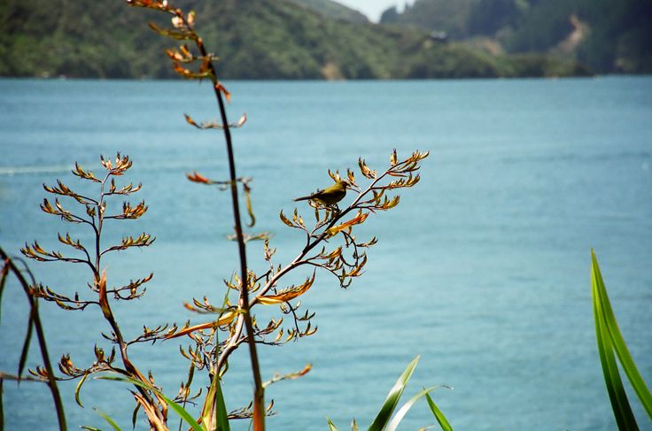 a silvereye bird feeds on the flax nectar at Bay of Many coves