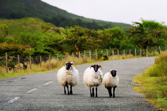 Ireland's sheep