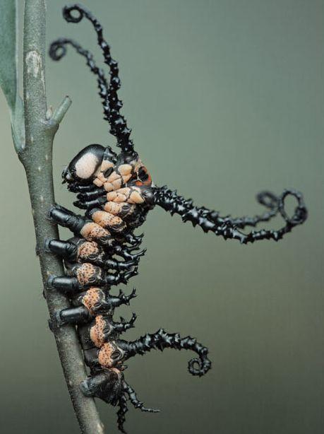 most amazing caterpillars