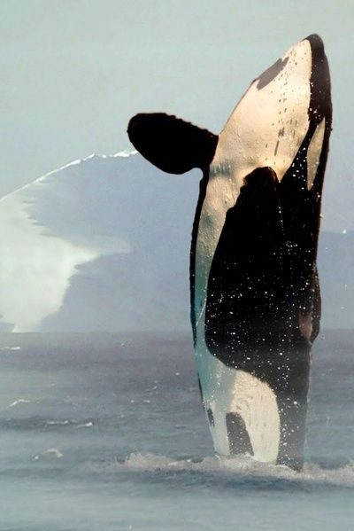 This is the only acceptable way to capture a picture of this magnificent animal. NOT SEAWORLD. SEAWORLD IS THE DEVIL.
