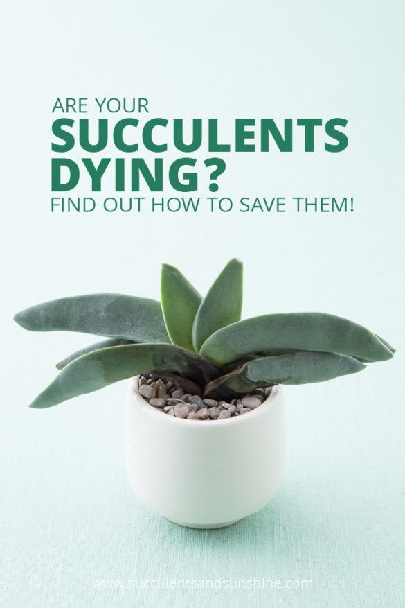 This post is so helpful for diagnosing why your succulent is dying