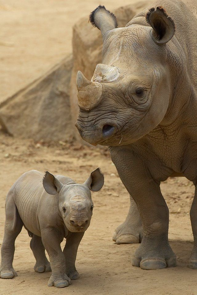 These two gorgeous Rhinos | follow @sophieeleana