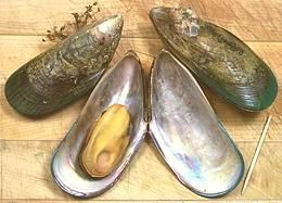 """Green Lip Mussel   -   [New Zealand Green Mussel; Perna canaliculus]  Green Lip Mussels  Found only around New Zealand where growing them has become a major industry this is the """"Green Mussel"""" most common in U.S. seafood markets and restaurants. Unlike the other green mussel, P. viridis, it is not suited to tropical climates and can be told from it by radial stripes of brown or red color most visible near the lip."""