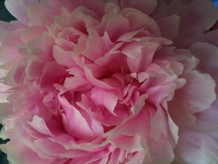 Petals Of Peony Flowers Close Up Pinterest Peony