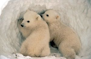 Polar Bear Cubs by US FIsh & Wildlife Service, via Flickr.com by patrica