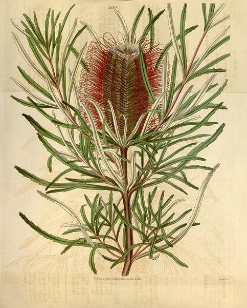 File:Botanical Magazine 3535 (pl).jpeg