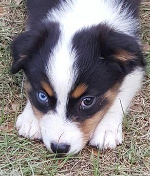 Australian Shepherd puppy for sale in OCALA, FL. ADN-39308 on PuppyFinder.com Gender: Female. Age: 6 Months Old