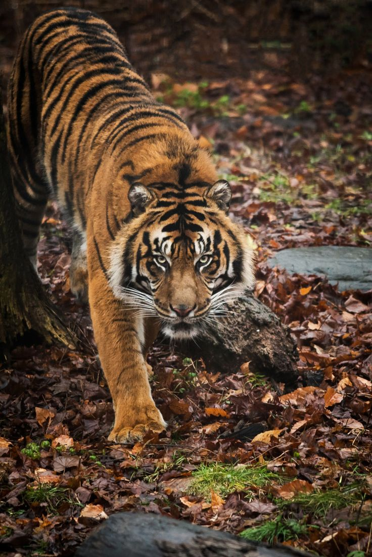 Photograph Tiger by Justin Lo on 500px