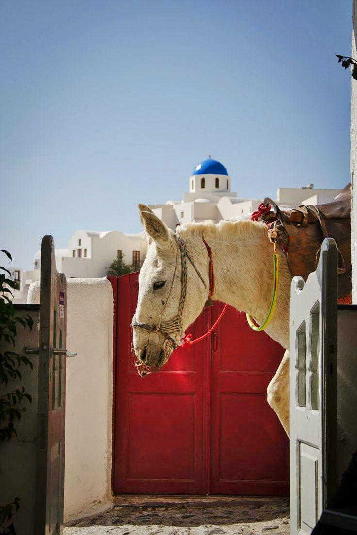 A White Mule in Oia, Santorini