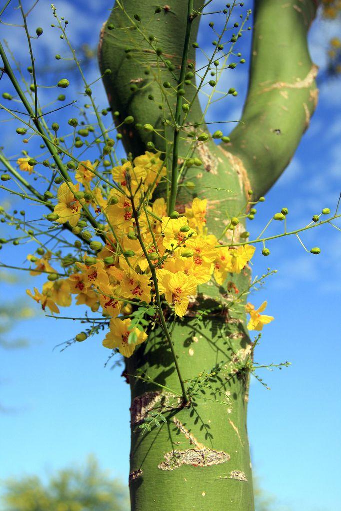 Porque como los días de un árbol serán los días de mi pueblo. (Palo Verde Tree) SB