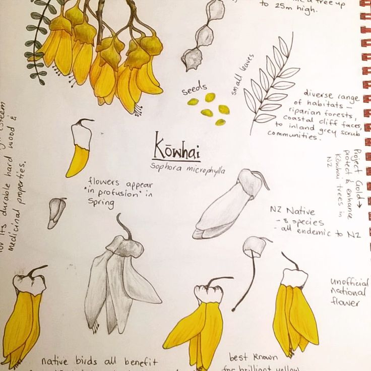 Doing some #sketching and research for an upcoming @spoonflower fabric design contest ... Nice to do some #drawing again  #spoonflower #design #kowhai #fabric8contest #botanicalillustration #botanicalsketchbook #nznative #yellow
