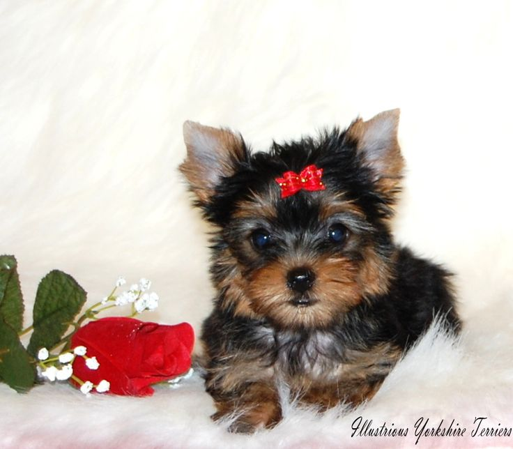 Yorkshire Terrier Puppies For Sale in Illinois | Yorkie breeder In Illinois. - Illustrious Yorkshire Terriers