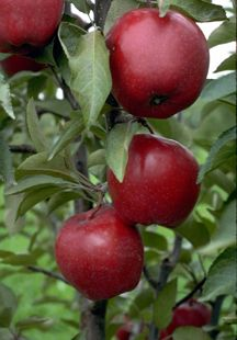 Jonathan Apple Tree - this site sells more mature trees that are closer to fruiting