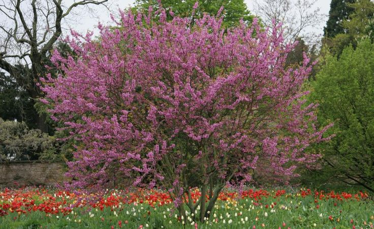 Große Blütensträucher als Hausbaum-Ersatz -  Viele Blütensträucher können sich in ihrer Wuchshöhe durchaus mit einem kleinen Hausbaum messen. Wir stellen Frühlingsblüher mit besonders malerischem Wuchs vor.