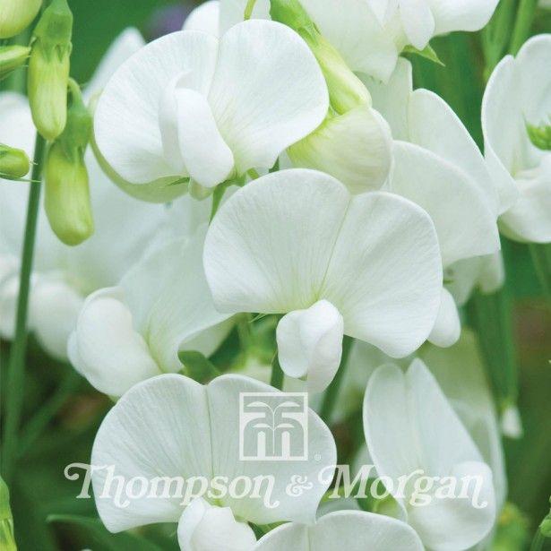 Lathyrus latifolius White Pearl - Pois de senteur vivace - Pois de Chine - Plante vivace grimpante aux fleurs papilionacées blanc pur