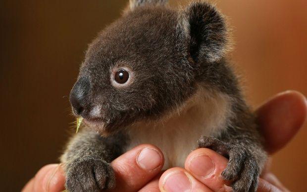 8 month year old koala bear