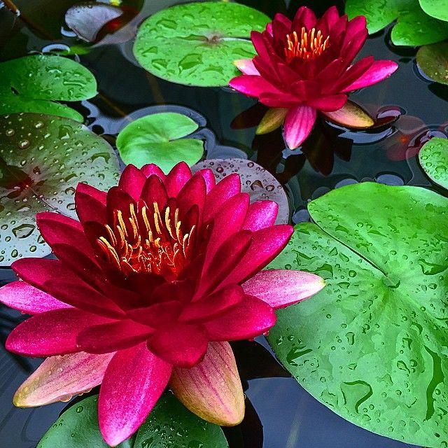 雨上がりは上手く撮れる. #睡蓮 #スイレン #花 #waterlily