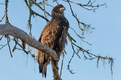 Immature Bald Eagle on Tree Branch