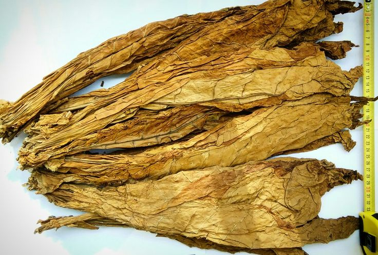 A whole leaves of Burley Tobacco!