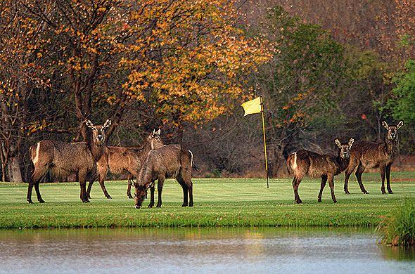 Elephant Hills Resort, Victoria Falls, Zimbabwe.   Please pause play for Kudu