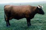 BELARUS RED Krasnaya Belorussaka Red White Russian. Belarus Red es una raza originaria de Republica Checa.   Es un cruce de Angeln, German Red, Polish Red, Danish Red y ganado local.   Su cabeza es medianamente larga, sus cuernos son medianos, su cuello es fino, su pecho es ancho y profundo. Su color es rojo.  Los toros pesan 460 kg y miden 129 cm.