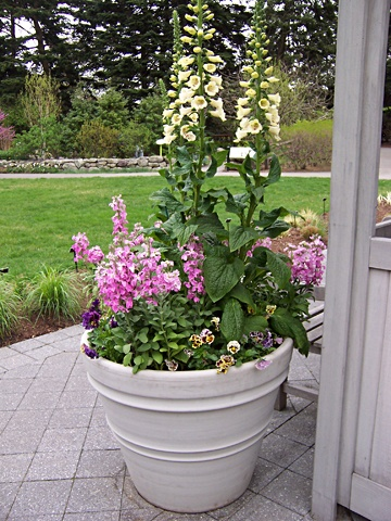 Foxglove As A Quot Thriller Quot In A Container Pretty Planters