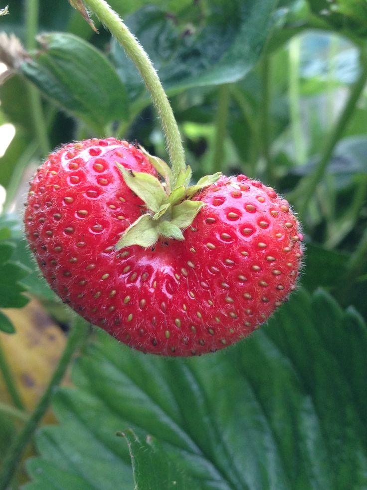 Heart shaped strawberry in my garden.