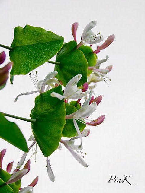 PiaK: Blommande kaprifol...