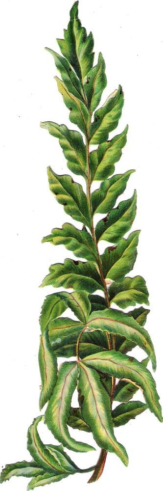 Oblaten Glanzbild scrap die cut chromo Farn fern 24 cm Wald Pflanze plant wood