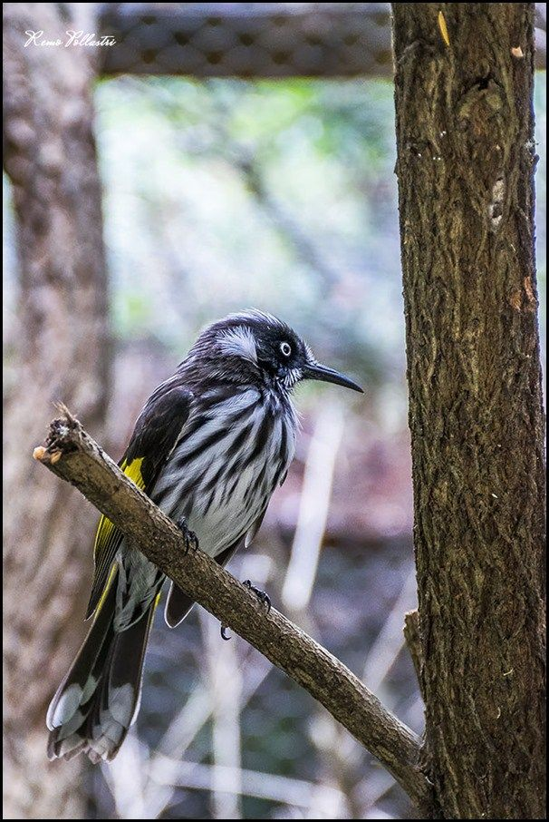 The New Holland Honeyeater is a honeyeater species found throughout the southern coastal areas of Australia