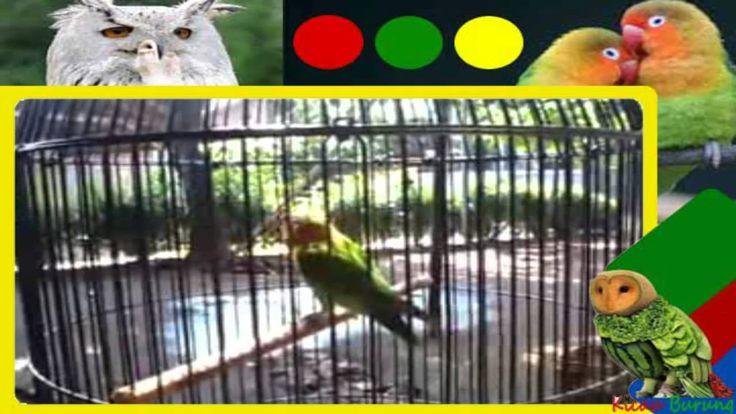 Suara burung love bird ngekek panjang juara