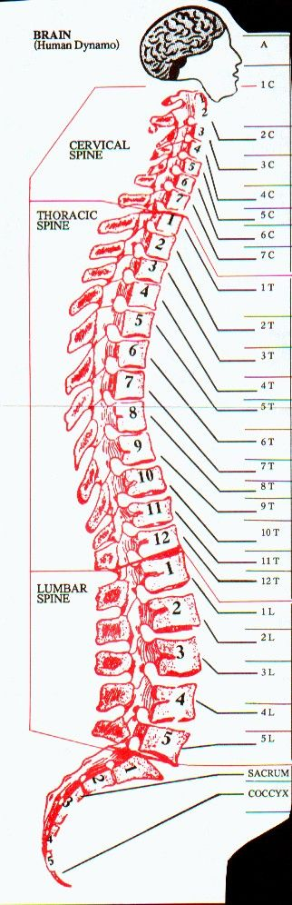 Spine diagram. I should have paid more attention in school, I did not know there were 29 levels.