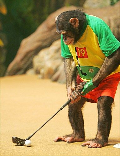 Going to be a hole-in-one...    A chimpanzee named Rudi pretends to play golf in Yongin, South Korea.