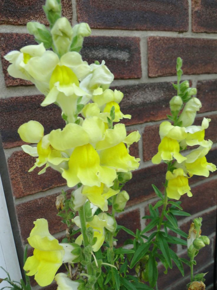Yellow Antirrhinums in our Lincolnshire Garden