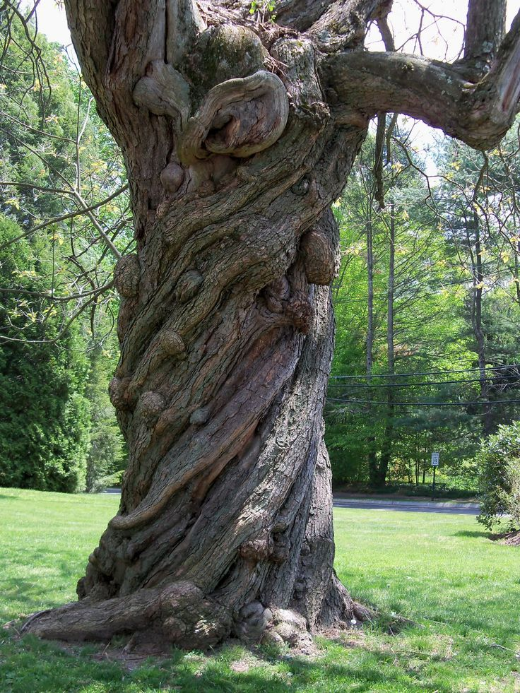 twisted tree   New England as I see it: Twisted Tree