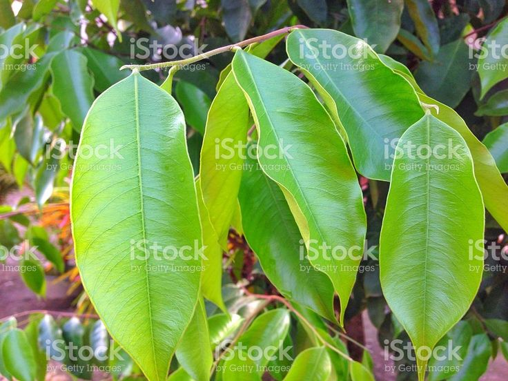 Agarwood (Aquilaria malaccensis) leaves royalty-free stock photo